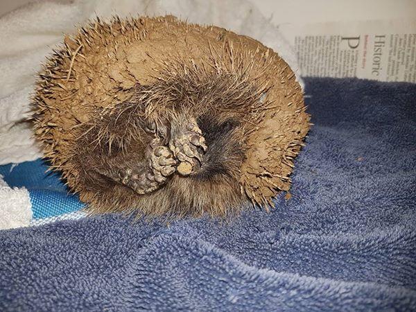 V kouli se skrýval mladý ježek. Stočil se do klubka a dokutálel se do louže plné