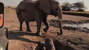 Slonice nevěděla pomoct mláděti, které uvízlo v jámě. Sledujte co se stane...