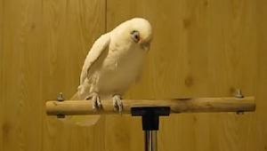 Toto NENÍ jen tak obyčejný papoušek! Počkejte až uslyší hudbu!