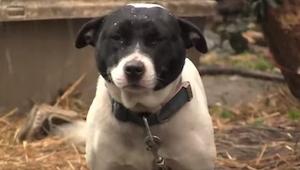 Tento chudý pes strávil celý svůj život na uvázaný řetězu, ale jednoho dne se st