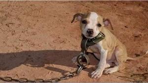 Odkdy se narodil, neznal tento pitbull nic jiného než krutost. Když ho pustili b