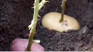 Zasadila stonek růže do brambory a zakopala ji. To, co vyrostlo po týdnu, je úža