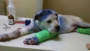 Dva psy týrali jejich majitelé. To, co stalo, když se poprvé setkali v útulku, j