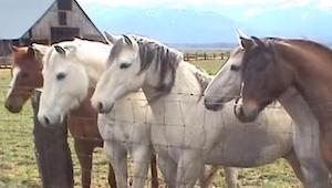 5 koní čeká na svého přítele. Když to uvidíte, zaručeně vás bude hřát u srdce! K