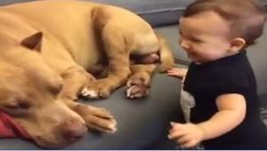 Dítě chtělo probudit spícího pitbulla. Podívejte se, co udělal hned po probuzení