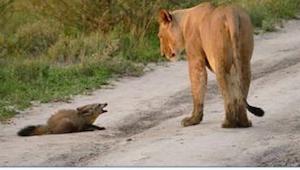 To, co udělala lvice, když spatřila lišku, daleko přesahuje vše, co víme o dravc