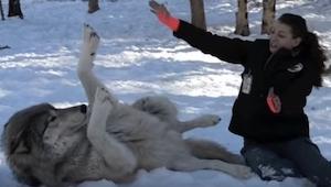 Žena si klekne vedle vlka, později se stane něco překrásného!