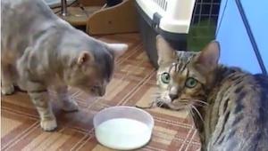 Co všechno je kočka ochotná udělat pro misku mléka? Přesvědčte se sami!