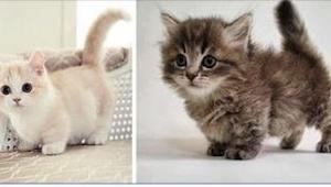 Toto jsou ty nejmenší kočky na světě! Je těžké vůbec uvěřit, že se díváte na dos