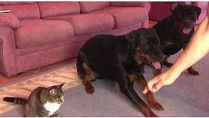 Dva psi sedí vedle sebe, pozorně však sledujte kočku. Co za chvíli udělá, je úža