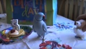 Upovídaný papoušek slaví své 5. narozeniny. Sledujte, jak zareaguje na dárek k n