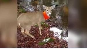 Myslivec natočil mladého jelena. To, co měl na sobě, mu zachránilo život!