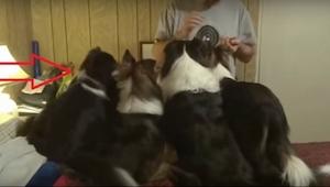 To, co dělá první pes zleva, je důkaz velké troufalosti, ale i inteligence!