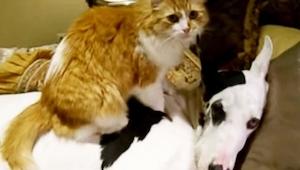 Kočka si sedla na německou dogu – důvod vás chytí za srdce!