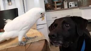 Nikdo nevěřil tomu, co dělají jejich papoušek a pes. Tak natočili toto video.