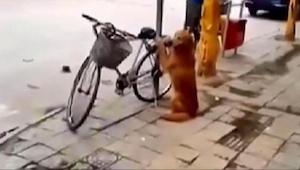 Pes hlídá kolo svého majitele. Sledujte, co se stane ve 0:45! Neuvěřitelné!