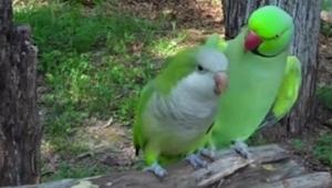 To, co dělá tento papoušek, je neuvěřitelné!