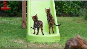 Tak energické kočky jsme ještě neviděli! Víte, o jakou se jedná rasu?