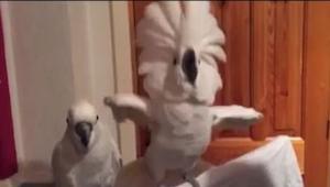 Pokud se vám zdá, že tanec tohoto papouška je legrační, počkejte, až uvidíte rea