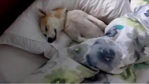 Tento pejsek předstírá, že spí. Tehdy jeho majitelka vytáhne eso z rukávu - nemů