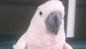 Papoušek si hlasitě pšouknul... Reakce? Nemůžeme přestat smát!