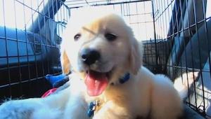 Rok v životě retrívra – od štěněte do mladého psa. To musíte vidět!