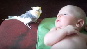 Rodiče se báli, že jejich papouškovi se nebude líbit miminko. Podívejte se co se