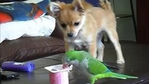 Papoušek klidně jedl zbylý jogurt, když se náhle objevil pejsek a udělal TOTO!