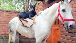 Tento dobrman a kůň jsou nejlepší kamarádi - to musíte vidět!