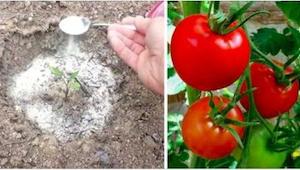 Nakonec mi prozradil 4 triky, které používá při pěstování rajčat… pokaždé má boh