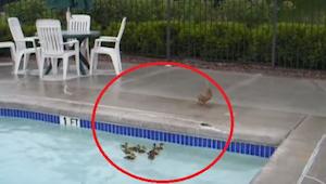 Káčátka uvízla v bazénu, a jejich máma bezmocně sledovala, jak se nemohou dostat