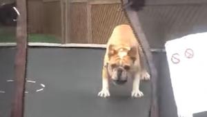 Muž nechal buldoka na trampolíně. Tento pes prostě miluje dělat salta!