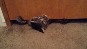 Tlustá kočka se snaží přecpat přes dveře - nemůžeme se přestat smát!