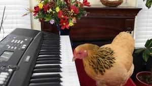 Neuvěříte, jak tato slepice hraje na klávesy!