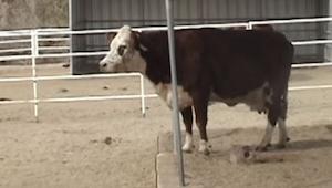 Musíte vidět reakci krávy, když uviděla, co přivezli. Nemůžeme zadržet slzy!