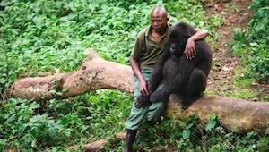 Ochranář se přiblíží k rozrušenému samci gorily, kterému umřela máma - jeho reak
