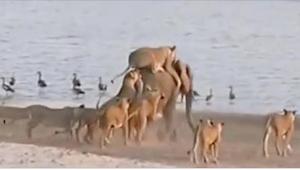14 lvic napadlo zvíře vážící 6000 kg. To, co se stalo, když vyšlo z vody, mě šok