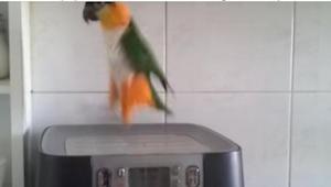 Majitelé nahráli vystoupení jejich papouška, protože nikdo nechtěl uvěřit tomu,