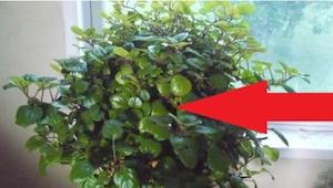 Díky této rostlině se budete moci zhluboka nadechnout! Možná, že ji máte doma a