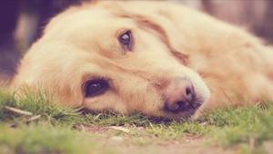 Nový způsob otravy psů zabil už 4 zvířata. Zjistěte, jak poznat příznaky včas.
