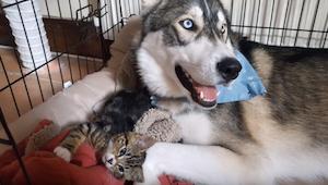Koťátko uklidnilo nervózního huskyho. To roztomilé video musíte vidět!