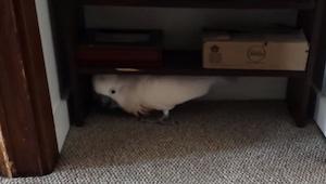 Paličatý papoušek nechce jít k veterináři…