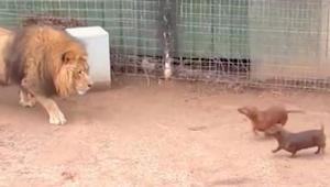 Lev se přiblíží k jezevčíkům, kteří se vplížili na jeho území. Toto video už šok
