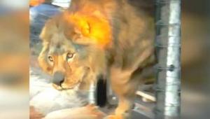 Lev strážil celý svůj život v betónovém výběhu. Podívejte se, jak zareagoval, kd