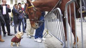 Tento pejsek byl štěstím bez sebe, když si ho konečně všimnul kůň - to musíte vi