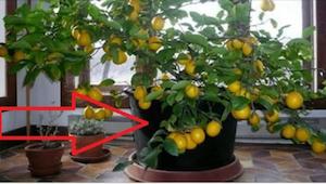 Kdy jsem uviděla v domě kolegyně citronovník, sama jsem chtěla takový. Je to vel