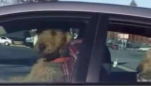 To, co tento pes dělá v autě, vás pobaví k slzám!