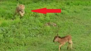 Lev se přibližuje k vyděšenému jelenovi a… tato nahrávka šokovala odborníky!