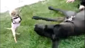 Obr versus lilipután… Toto video vás pobaví k slzám!
