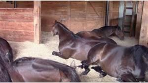Koně se najedli a chtěli si zdřímnout. Jejich majitelka netušila, že toto video
